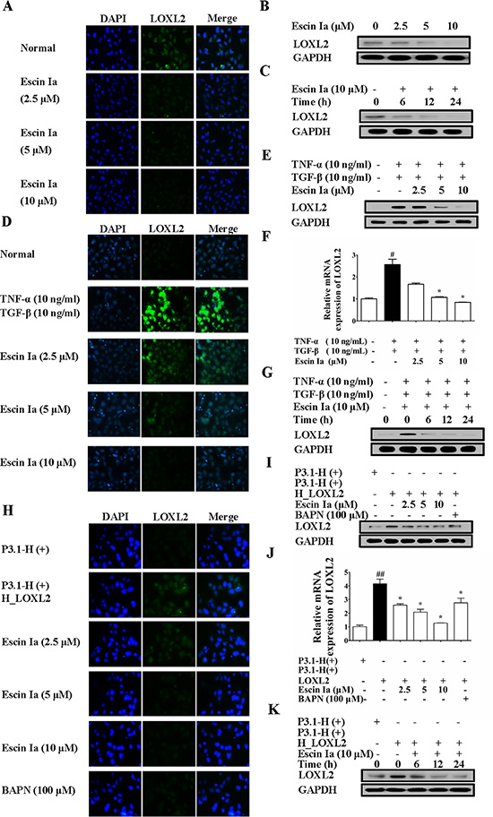 Effect of escin Ia on LOXL2 expression in MDA-MB-231 cells and TNF-α/TGF-β-stimulated or LOXL2-transfected MCF-7 cells.