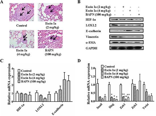 Effect of escin Ia on lung metastasis of MDA-MB-231 xenograft model in vivo.