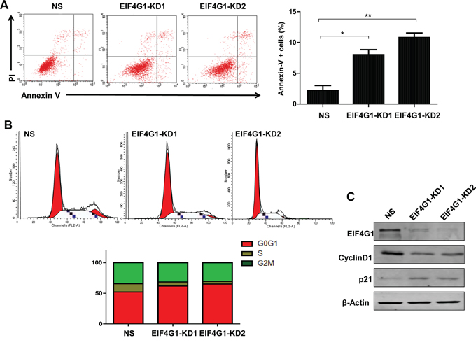 Targeting EIF4G1 induces NSCLC cell apoptosis and G0/G1 cell cycle arrest.