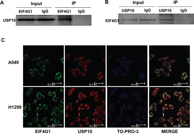 The interaction of EIF4G1 and USP10 in NSCLC.