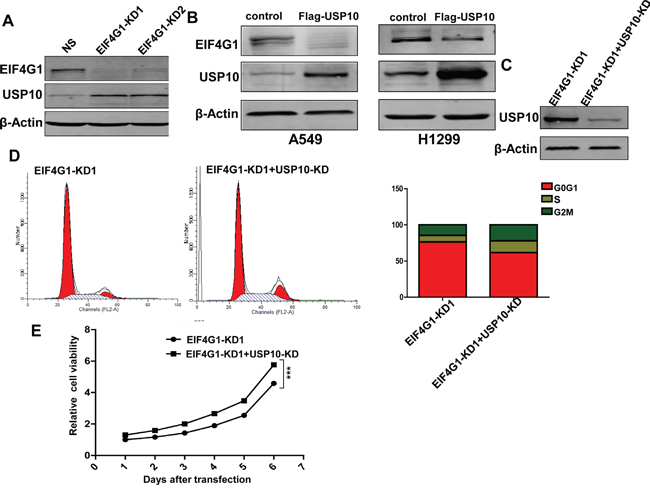 USP10 is involved in EIF4G1-mediated functions as a potential negative regulator.