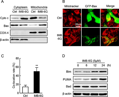 Effect of IMB-6G on the cytochrome c release, Bax translocation and BH3-only proteins.