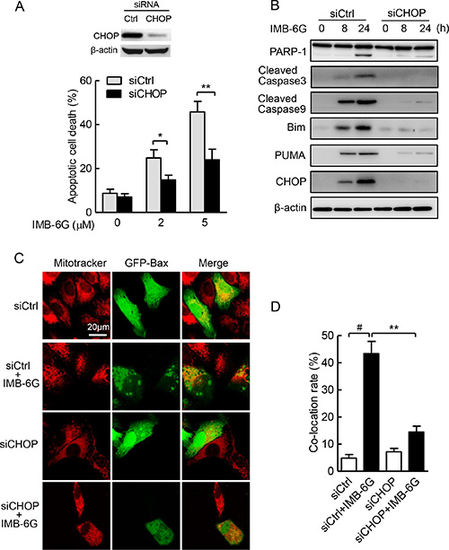 ER stress-induced CHOP plays a key role in IMB-6G-induced apoptosis.