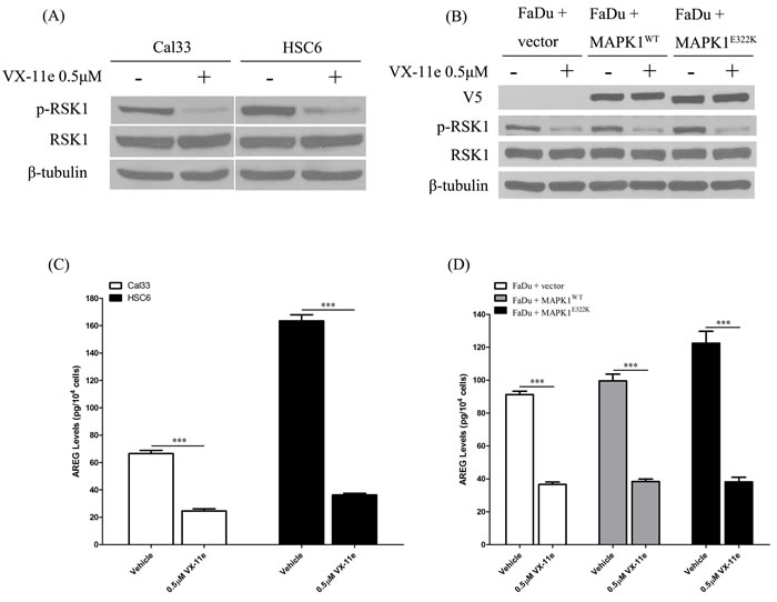MAPK1 inhibition decreased AREG secretion in HNSCC, especially in the cells harboring the