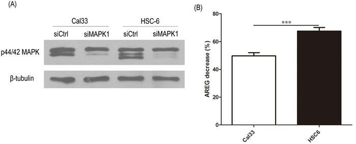 siRNA knockdown MAPK1 significantly decreased secretion of AREG in HSC-6 cells expressing mutant