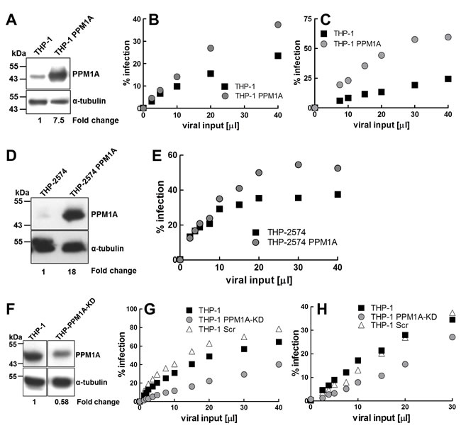 PPM1A expression levels regulate macrophage susceptibility to HIV-1 infection.