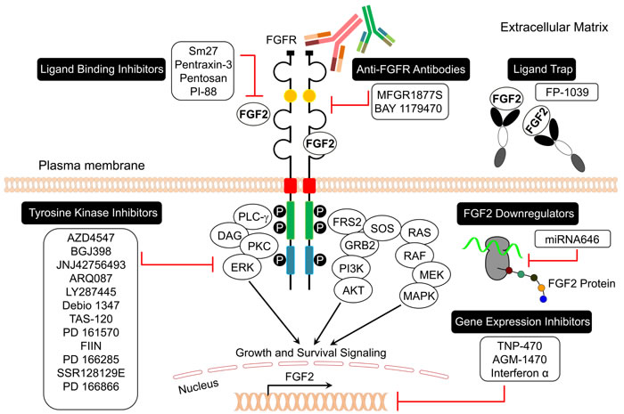 FGF2/FGFR signaling inhibitors in cancer.