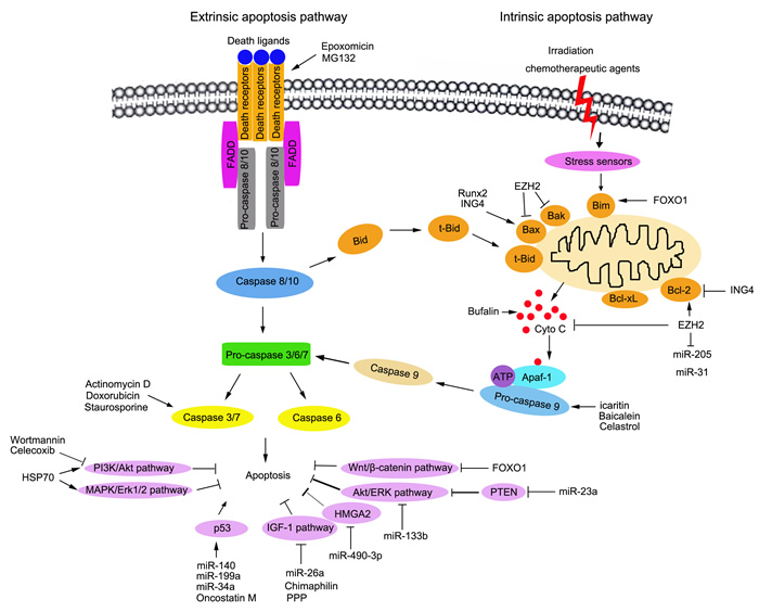 Schematic representation of the signalling pathways to apoptosis and the regulation of apoptosis in osteosarcoma therapy.