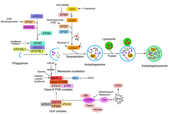Schematic representation of signalling pathways to autophagy and the regulation of autophagy in osteosarcoma cells.