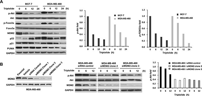 The inhibitory effect of triptolide on MDM2-mediated Akt activation.