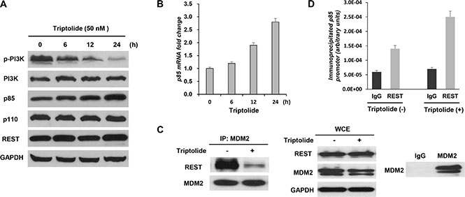 Triptolide interferes with the interaction between MDM2 and REST to increase expression of the regulatory subunit of PI3-kinase p85.