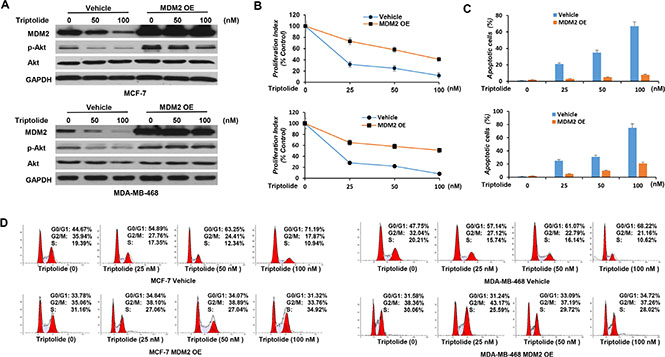 In vitro anticancer activities of triptolide are associated with its capacity to inhibit MDM2.