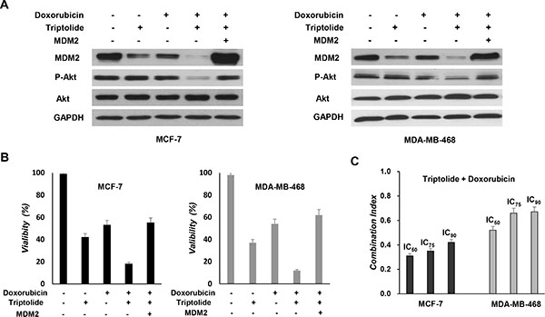 In vitro chemosensitization effect of triptolide.