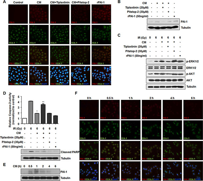 Secreted extracellular PAI-1 stimulates downstream signaling in NCI-H460 cells by extracellular interaction, not by clathrin-mediated endocytosis.