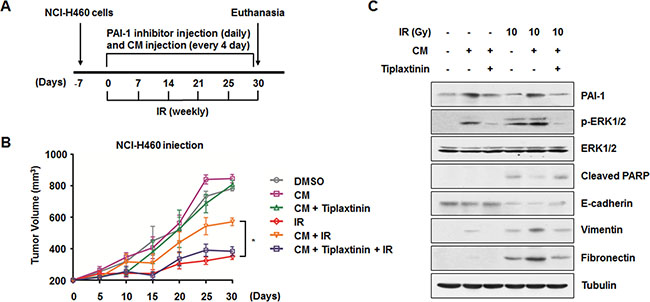 Inhibition of PAI-1-mediated intercellular communication decrease in vivo radioresistance and EMT in a xenograft mouse model.