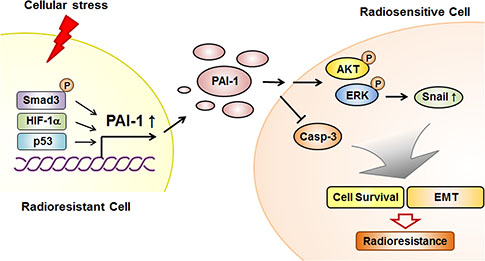 Schematic diagram illustrating that PAI-1 secreted from radioresistant NSCLC cells induces paracrine signaling in radiosensitive NSCLC cells, leading to increased survival capacity and EMT phenotype.