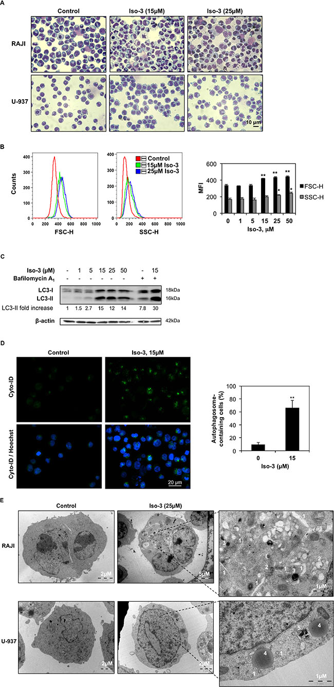 Iso-3 induces autophagy in lymphoma cells.