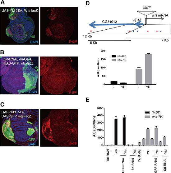 Direct negative feedback on YAP/Yorkie is conserved in Drosophila.