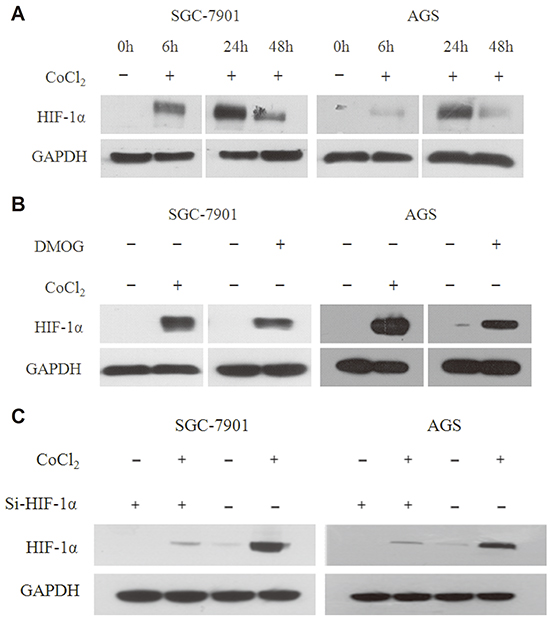 HIF-1α expression is stabilized by CoCl2 and DMOG.