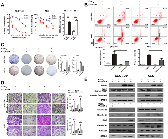 Elevated HIF-1α induces cisplatin resistance in gastric cancer.