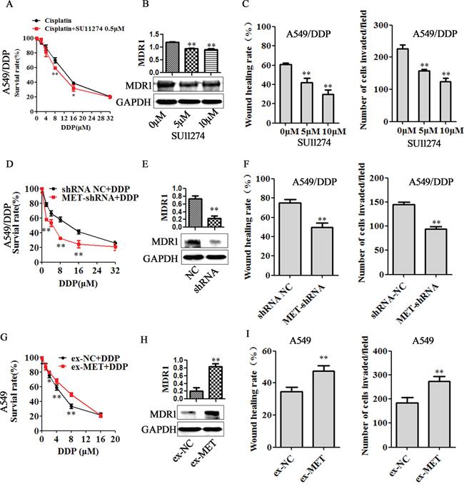 MET is involved in miR-206 inhibited cisplatin resistance.