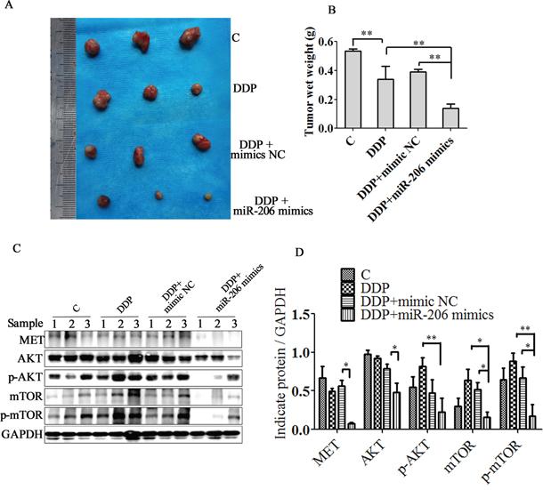 miR-206 enhances A549/DDP cells to cisplatin sensitivity in vivo.