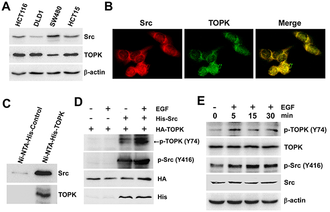 Src binds with TOPK and phosphorylates TOPK at Y74 ex vivo.