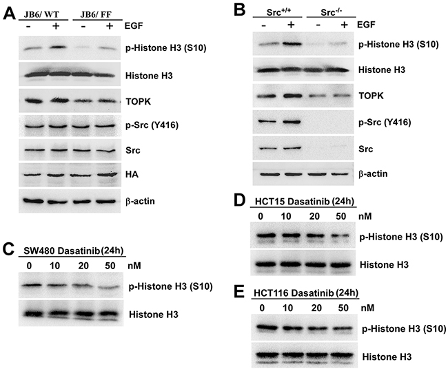 The phosphorylation of TOPK at Y74, Y272 by Src enhances the activity of TOPK.
