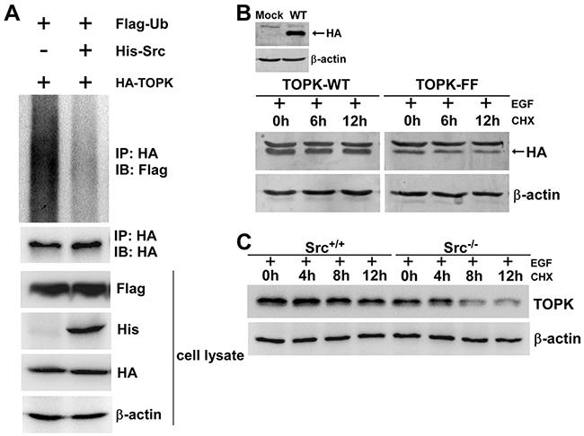 The phosphorylation of TOPK by Src enhances the stability of TOPK.