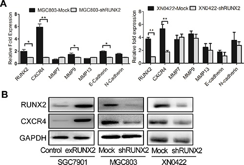CXCR4 is a candidate RUNX2-targeting gene.