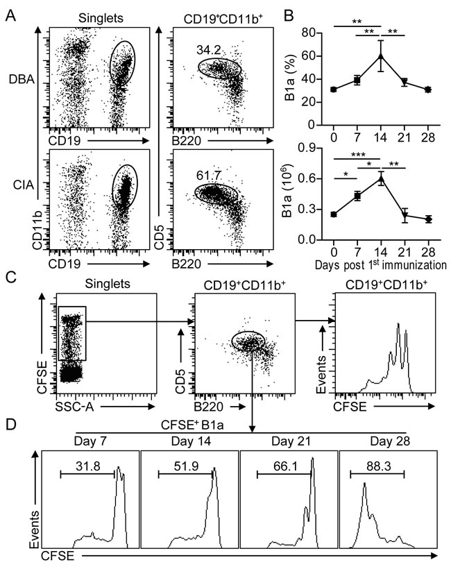 B1a cells undergo proliferative expansion in the peritoneal cavity (PC) during CIA development.