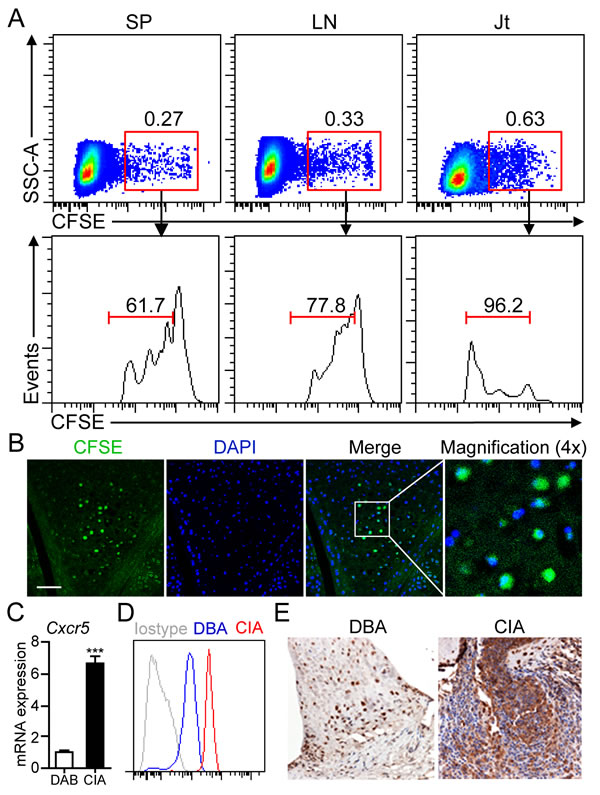 B1a cells migrate from PC to the joint tissue of CIA mice.