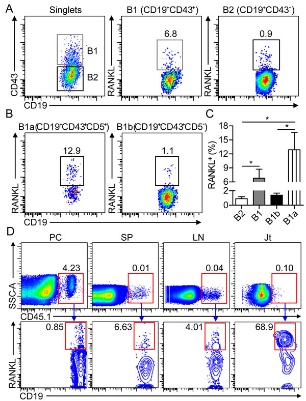 B1a cells express RANKL in the inflamed joint of CIA mice.