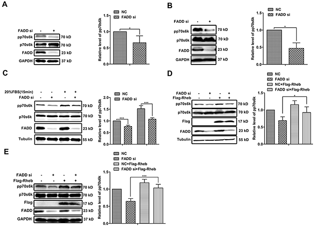 FADD regulated mTORC1 activity through Rheb.