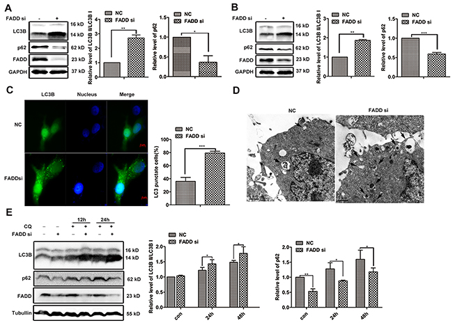 FADD interference induces autophagy.