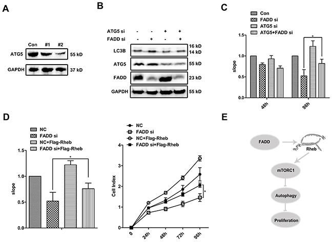 FADD enhances cell proliferation by repressing autophagy.