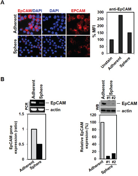 Down-regulation of EpCAM expression by EMT induction.
