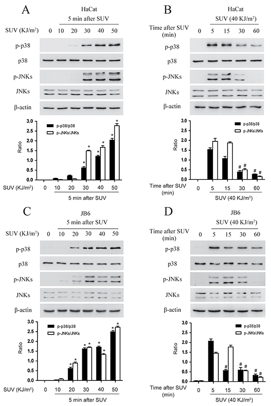 SUV induces the phosphorylation of the p38, JNKs in a dose and time dependent manner in the HaCat and JB6 cells.