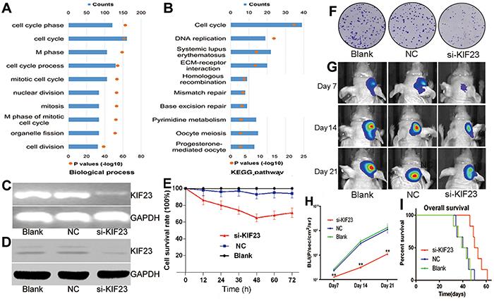 KIF23 is a tumor oncogene in glioma.