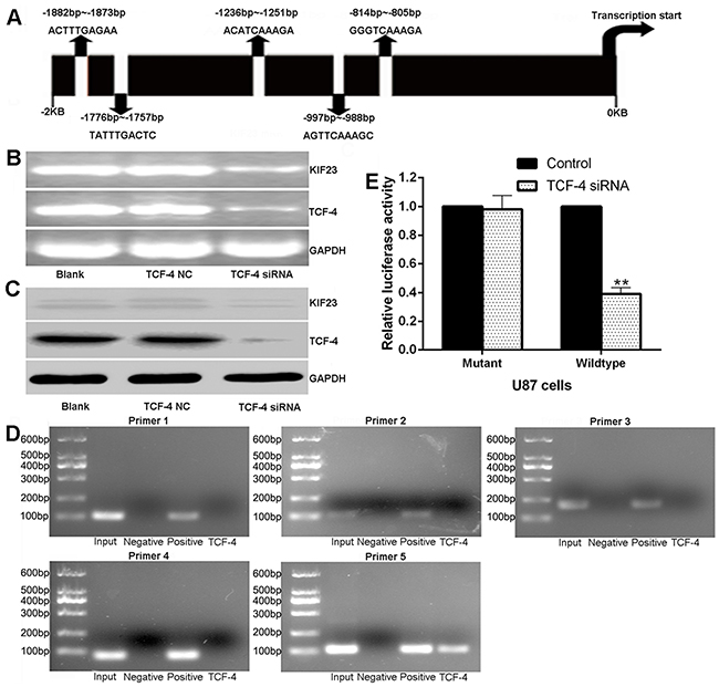 KIF23 is regulated by TCF-4 at transcriptional level.
