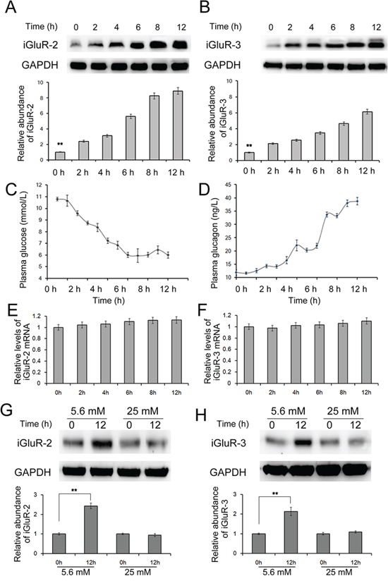 The effects of decreased glucose on the expression of iGluR2/3.