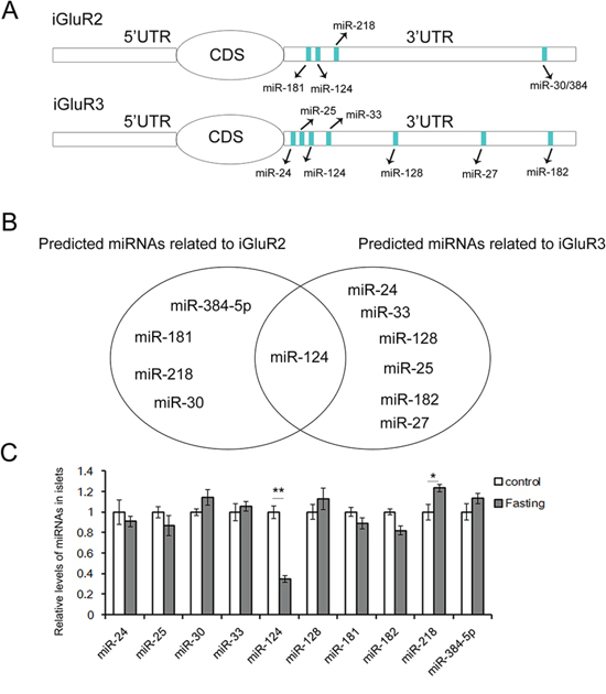 The predicted upstream miRNAs associated with iGluR2/3.