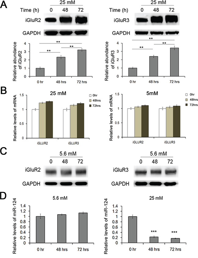 Effects of glucotoxicity on the expression of miR-124-3p and iGluR2/3.