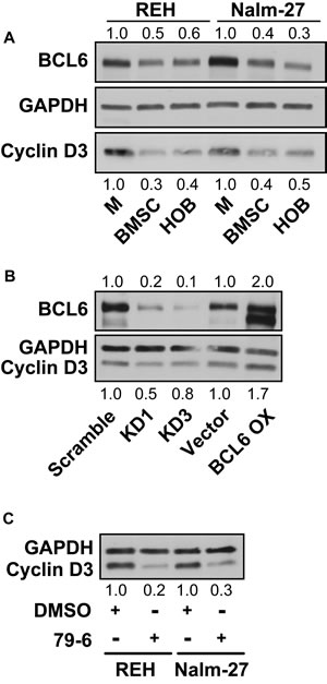 BCL6 modulates the cell cycle regulating protein cyclin D3.