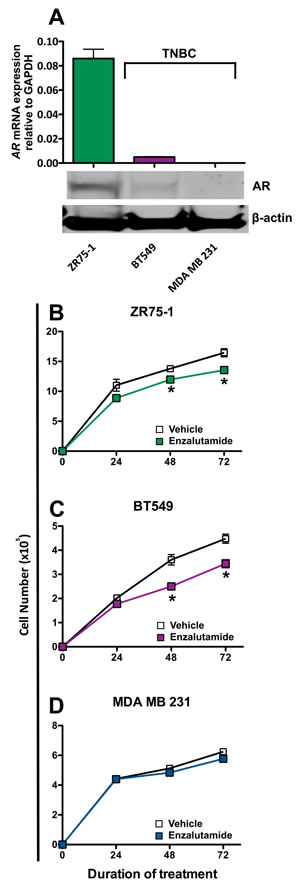 Enzalutamide inhibits the growth of androgen receptor (AR) positive breast cancer cells.