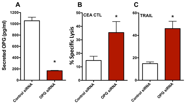 Knocking down osteoprotegerin (OPG) expression recapitulates the increased sensitivity of MDA MB 231 cells to T cell- and TRAIL-mediated killing.