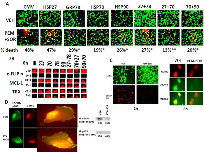 [Pemetrexed + sorafenib] lethality is reduced by over-expression of GRP78, HSP70 and HSP90.