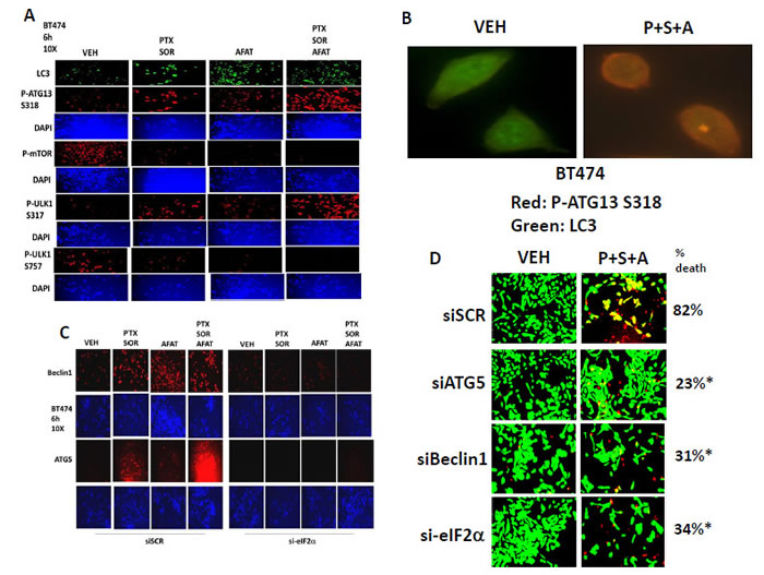 Pemetrexed + Sorafenib + Afatinib promote autophagy through ER stress -induced expression of Beclin1 and LC3, and by mTOR inactivation and AMPK activation leading to ATG13 phosphorylation.