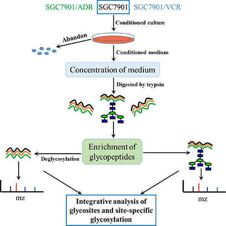 Workflow for the characterization of site-specific glycosylation of glycoproteins in secretomes of SGC7901, SGC7901/ADR and SGC7901/VCR.