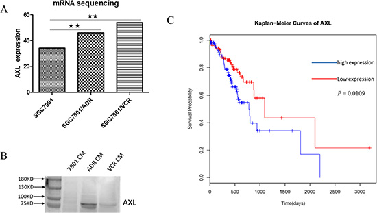 AXL is increased in GC MDR cells and predicts poor survival in GC patients.